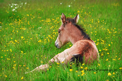 Gucci (PhotOw'graphie) Tags: horse nature animal cheval vert animaux extrieur chevaux couch foal poulain