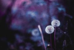 Cotton (The Daniel Garca) Tags: film lomo lomography purple phototgraphy lomochrome