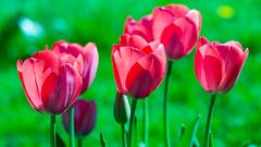 From the Garden 2015 (janeway1973) Tags: plant flower garden blossoms pflanze tulip blume blte garten tulpe 2015