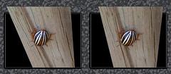 False Potato Beetle Backside - Crosseye 3D (DarkOnus) Tags: macro beautiful closeup bug insect stereogram 3d crosseye phone pennsylvania butt beetle cell stereo potato hyper backside thursday stereography buckscounty false huawei leptinotarsa crossview ttw hyperstereo bbbt juncta mate8 beautifulbugbuttthursday hbbbt darkonus