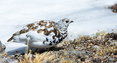 Strolling By: The White-tailed Ptarmigan (mharoldsewell) Tags: bird birds nikon colorado photos rockymountainnationalpark whitetailed 2016 whitetailedptarmigan lagopusleucurus mharoldsewell mikesewell d7200