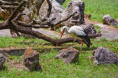 Stork (Vincent1825) Tags: pentax stork dfa70200mm louisvillezoo