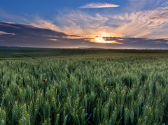 Barley light. (Through Bri`s Lens) Tags: sunset barley sussex cereal crop poppy poppies steyning bramber cerealcrop brianspicer canon5dmk3 canon1635f4