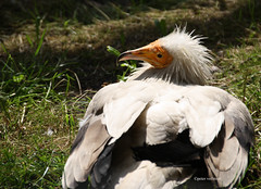 01-IMG_2149 (hemingwayfoto) Tags: altweltgeier berlin geier greifvogel lebewesen natur neophronpercnopterus schmutzgeier tier vogel zoo