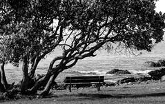 The bench seat and the wattle tree (MyEyeSoul) Tags: roadtrip bronte tree wattletree bench seat park parkbench blackandwhite monochrome myeyesoul sonynex6 contr sea ocean water rocks coast surf waves swell