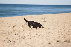 Pup at the Cape (emilynncaulfield) Tags: dog inspiration art love beach nature water up animal puppy landscape photography design photo blog emily sand pretty photographer close graphic designer elc details creative blogger lynn creation editing create dig creating inspiring edit caulfield emilynn emilynncaulfield