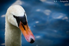 Schwan / Swan (R.O. - Fotografie) Tags: bird water up animal closeup lumix swan wasser close bokeh outdoor waterbird paderborn panasonic schwan fz 1000 dmc tier vogel wasservogel fischteiche fz1000 dmcfz1000