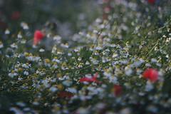 IMG_9559 (evahgrf) Tags: plant plants field meadow garden flower flowers nature freelensing outside canon focus 14 500d summer landscape germany adventure explore bokeh poppy poppies colour