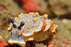 DSC_8538 (Johnny) Tags: underwater nikon d800 nauticam 105mm nudibranch snoot lsd