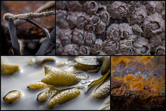 Seen in a Marine Environment (Normann Photography) Tags: shells collage rust hvasser tjøme skjell marineenvironment kollasje vadholmen sønstegårdplantefredningsskole