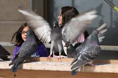 Super Pigeon-0343 (RG Rutkay) Tags: life park urban toronto birds children spring waterfront pigeons lakeontario unionstation torontoislands tdpcoutting