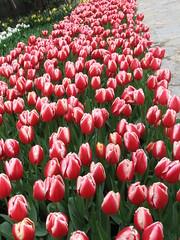 IMG_6054 (Gkmen Kmrt) Tags: tulips tulip 2014 emirgan laleler