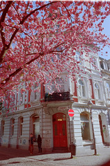 Cherry blossom latergrams (25/8) Tags: minolta kodak portra x700 rokkor portra160
