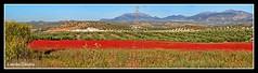 Panoramica- Provincia de Jaén (Lourdes S.C.) Tags: flowers españa flores andalucía paisaje cielo campo montañas panorámica olivares floressilvestres campodeamapolas provinciadejaén montañasdejaén