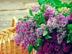 (Alin B.) Tags: flower spring perfume lilac smell april scent aprilie primavara liliac alinbrotea