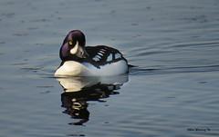Barrow's Goldeneye Male  5708 (Ethan.Winning) Tags: geese ducks breeding northamerica wyoming yellowstonelake yellowstonenp malebarrowsgoldeneye canonsx50 ethanwinning