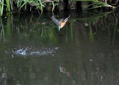 Kingfisher - Water bath (ogawa san) Tags: blue orange bird water japan kingfisher 日本 yokohama kanagawa 横浜 鳥 神奈川 70300 wildbird 野鳥 カワセミ shoumyoujitemple nikon1v3