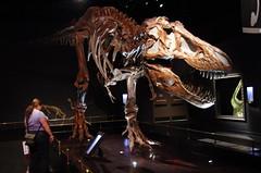 T-Rex (2) (juan_guthrie) Tags: drumheller alberta royaltyrrellmuseum dynosaur