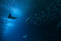 From the depths... (Neil R Meninick) Tags: blue school sea fish valencia silhouette aquarium spain marine ray underwater stingray aquatic shoal oceanlife loceanografic