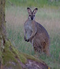 Red-necked wallaby, Polblue Swamp, Barrington Tops National Park, NSW, 07/02/15 (Russell Cumming) Tags: mammal newsouthwales muswellbrook redneckedwallaby barringtontopsnationalpark polblueswamp