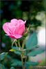 pink rose (ChristianRock) Tags: 50mm pentax 50mmf14 rikenon 50f14 ricoh50mmf14 kmount rikenon50mmf14 k20d pentaxk20d rikenonxr50mmf14