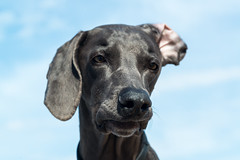 ball-head (VanaTulsi) Tags: dog weimaraner weim blueweimaraner vanatulsi blueweim