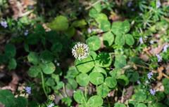Simply Clover-May 04, 2015-0001.jpg (albertjackson5750) Tags: clover irishluck floweringclover