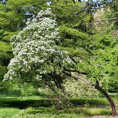 IMG_0073 (jnshaumeyer) Tags: arboretum dogwood usnationalarboretum