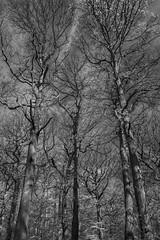 Mono Trees Sharrards Wood 2 - April 2016 (GOR44Photographic@Gmail.com) Tags: wood trees bw white black tree ir mono woods fujifilm wgc xpro1 sherrards 18mmf2 gor44