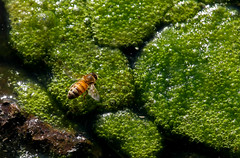 Nothing Like A Little Afternoon Bubbly (jrussell.1916) Tags: orange green nature yellow spring bees drinking insects algae canonef70200f4lis14tc
