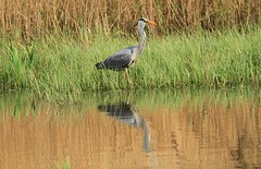 Heron Reflection (WhitePointer) Tags: bird heron reflections rspb leightonmoss