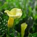 黃金海芋/Gold calla