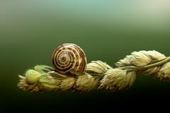 caution (marcello.machelli) Tags: house macro green home danger spider snail sigma caution wait lumaca rosso siege ambush greenspider sigmaapomacro imboscata nikond810 raghnoverde ayyesa