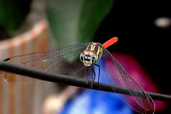 DragonFly_4 (whisky sierra) Tags: dragonfly flyinginsect smallinsect
