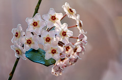 Our hoya plant is blossoming beautifully now (Poupetta) Tags: home helsinki hoya waxflower