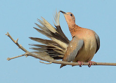 Birds of Jeddah 12May16.03 (Pervez 183A) Tags: bird dove jeddah saudiarabia