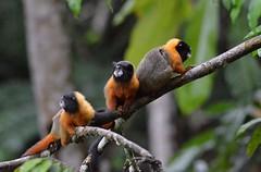 Golden-Mantled Tamarins near Napo Wildlife Lodge in Ecuadors Yasuni National Park (One more shot Rog) Tags: nature monkey ecuador rainforest wildlife monkeys napo primates amazonbasin goldentamarins napowildlifelodge goldenmantledtamarins