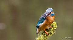 Eisvogel Weibchen(Alcedo atthis)-Kingfisher,Female-Wildlife,Northern Germany-Bremen (Cristoforo Colombo) Tags: wmme blockland eisvogel