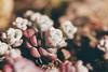 Broadleaf Stonecrop (oandrews) Tags: plants nature canon garden outdoors succulent flora alpine sedum sedumspathulifolium broadleafstonecrop ukspring canonuk canon70d