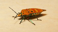 Mallotus Harlequin Bug (Cantao ocellatus, Scutelleridae) (John Horstman (itchydogimages, SINOBUG)) Tags: insect macro china yunnan itchydogimages sinobug bug shield shieldbacked jewel scutelleridae hemiptera trap entomology