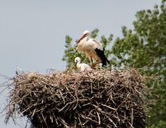 schmutzige Mama und sauberes Kind (babicka_k) Tags: storch jungvogel hervest