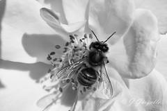 Abeja en Rosa blanca (J.Gargallo) Tags: flowers abejas blackandwhite bw flores flower macro byn blancoynegro canon garden eos blackwhite flor rosa bee tokina abeja eos450d canon450d tokina100mmf28atxprod