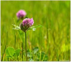 Wiesenklee (mayflower31) Tags: flower spring meadow wiese blume frhling rotklee