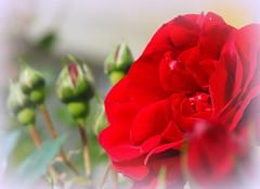 Roses (Stella VM) Tags: flowers red roses rose garden spring redrose redroses