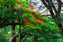 Je me suis perdu dans votre beauté. (- Ali Rankouhi) Tags: park flowers light red india tree green love nature lost day bangalore april زیبایی cubbon درخت سبز 2016 عشق قرمز 1395 هند بنگلور