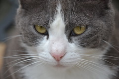 rosetta (ELENA TABASSO) Tags: cats animal animals cat gatto gatti animali animale