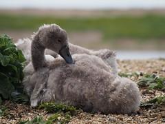 2016.07.13 Abbotsbury (303) (Kotatsu Neko 808) Tags: uk england swan cygnet dorset abbotsbury swannery abbotsburyswannery
