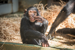 2016-07-21-16h29m31.BL7R1479 (A.J. Haverkamp) Tags: canonef100400mmf4556lisiiusmlens amsterdam zoo dierentuin httpwwwartisnl artis thenetherlands chimpansee chimpanzee ajani dob27082013 pobamsterdamthenetherlands