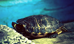 Tag 101 - Schildkrte (Gitta Martin) Tags: 200tagefotoaktion schildkrte wasser sonne becken sonyalpha57 turtle 41379 brggen panzer tier wasserschildkrte