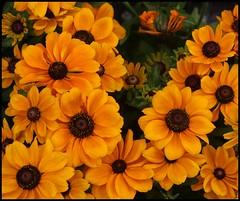 Rudbeckia (BurstsofSingleMindedness) Tags: flowers orange coneflower goldsturm rudbeckia kouter flowermarket sunday gent
